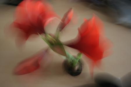 Mein Blütenfoto des Tages: Amaryllis