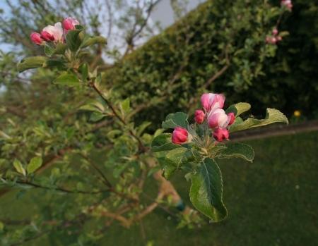 Wenn der Apfelbaum blüht...