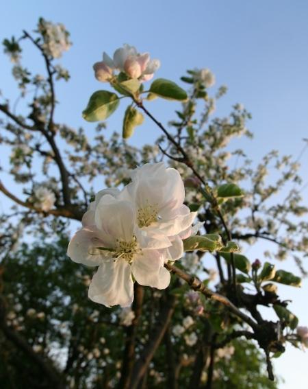 Apfelblüte 2011