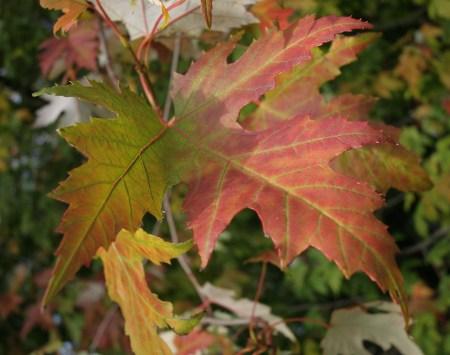 Das Foto zeigt ein großes - farbenträchtiges - Blatt im Herbst 2010