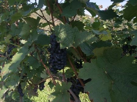 Blaue Weintrauben an der Mosel