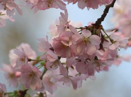 April und Berlins Bäume blühen…