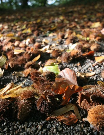 Herbst 2009: Bucheckern