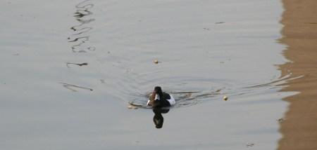 Freie Fahrt für die Ente im Berliner Landwehrkanal