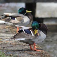 Zwei Enten am Spreeufer