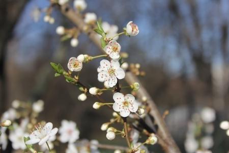 Kirschblüte im Frühling 2012