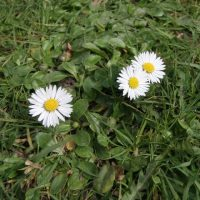 Gänseblümchen 2010 - Der Frühling ist da!