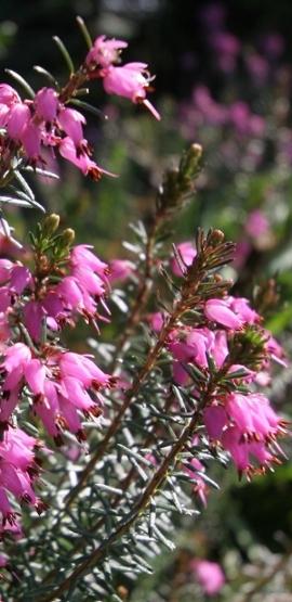 Pflanzenfoto 2010: Die Heide