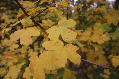 Ahornblätter im Herbst 2009