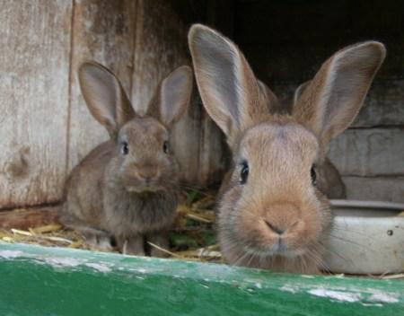 Zwei - fünf Wochen alte - Kaninchen
