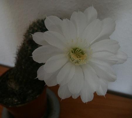 Kaktusblüte 2011