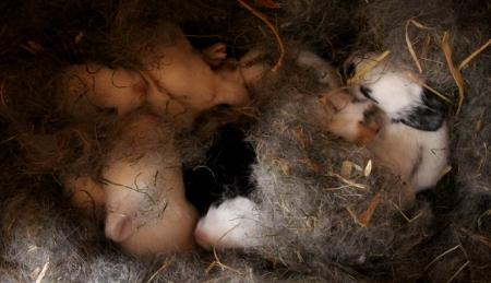 Nest mit neun kleinen Kaninchen