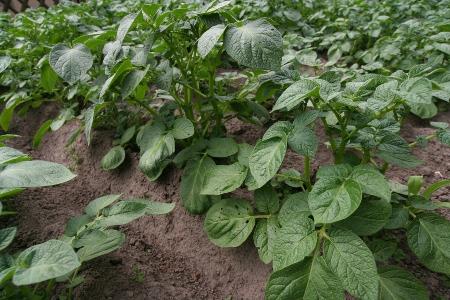 Private Kartoffelanbaufläche im Osnabrücker Land