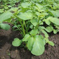 Grüne Kartoffelpflanzen