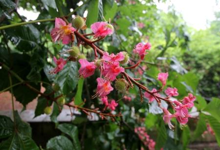Kastanienblüte im Juni