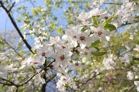 Die Kirschblüte in Berlin