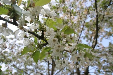 Wenn der Kirschenbaum blüht.