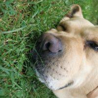 Foto: Labrador im Gras