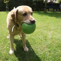 Labrador mit Ball im Maul