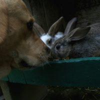 Der alte Labrador und das junge Kanichen