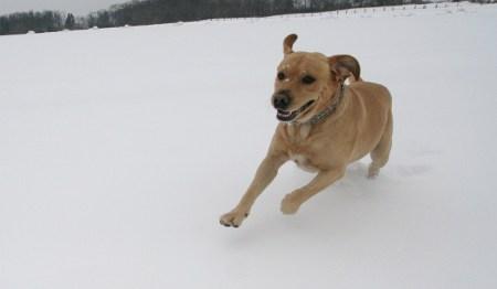 Labrador im Schnee