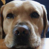 Die Augen des Labradors