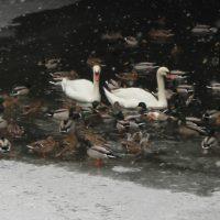 Berliner Winter - Schwäne und Enten auf dem Landwehrkanal