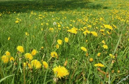 Löwenzahn 2009 - Ein Feld voller Pusteblumen...