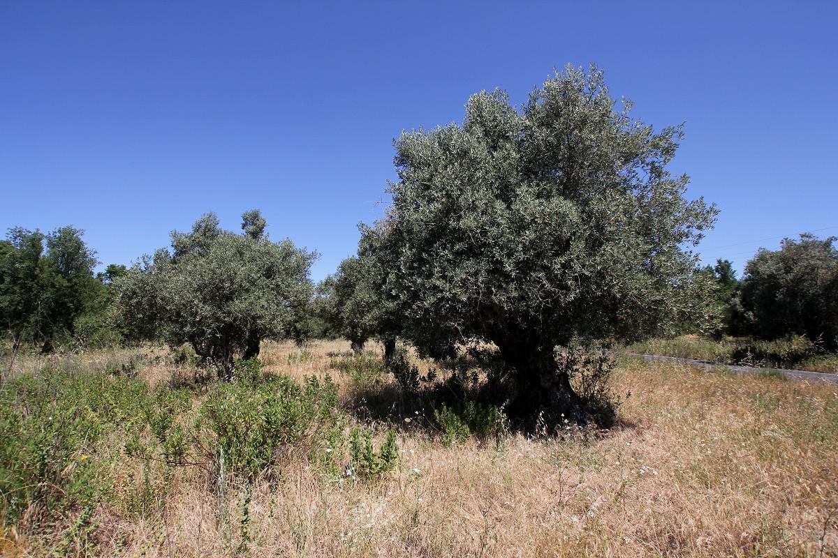 Olivenbäume in Portugal