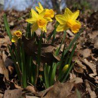 Frühling in Berlin - Osterblumen am Kanal
