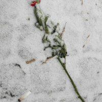 Die rote Rose im Schnee