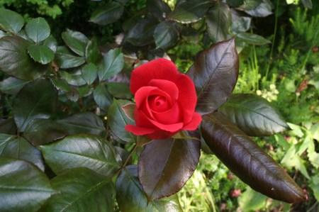 Die rote Rose 2009