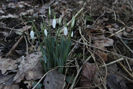 Schneeglöckchen - Frühling 2012