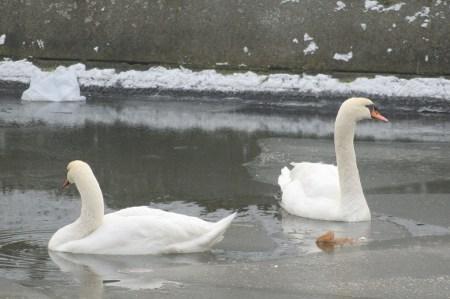 Berliner Winter - 2 Schwäne im Berliner Landwehrkanal