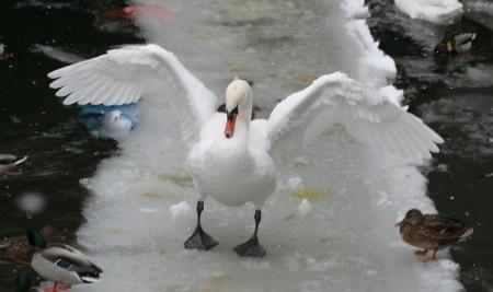 Der Schwan auf dem Eis