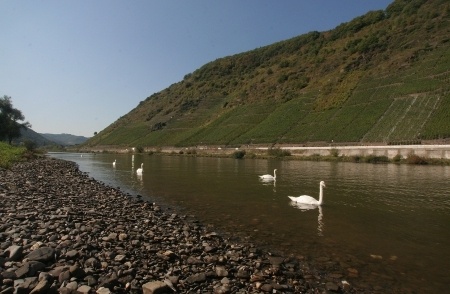 Schwne auf der Mosel
