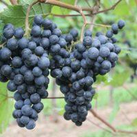 Spätburgunder-Weintrauben an der Mosel