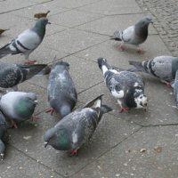 Fressende Tauben
