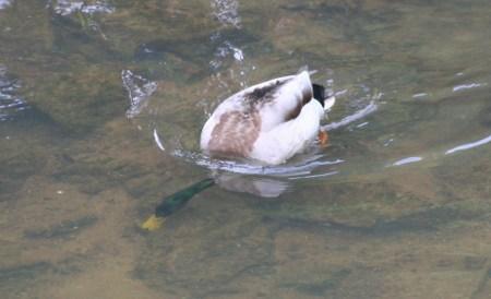 Die Taucher-Ente in der Osnabrücker Hase