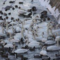 Schwäne und Enten auf dem Landwehrkanal in Berlin