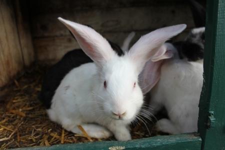 Weißes Kaninhen