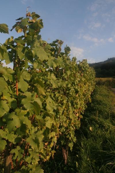 Reben ohne Weintrauben