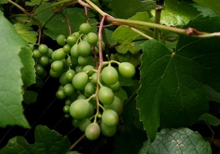 Weintrauben im Osnabrücker Land