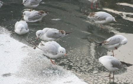 Winter 2009/2010 in Berlin - Tiere auf dem Landwehrkanal